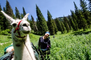 Llama trekking in the Winds. Photo: m01229
